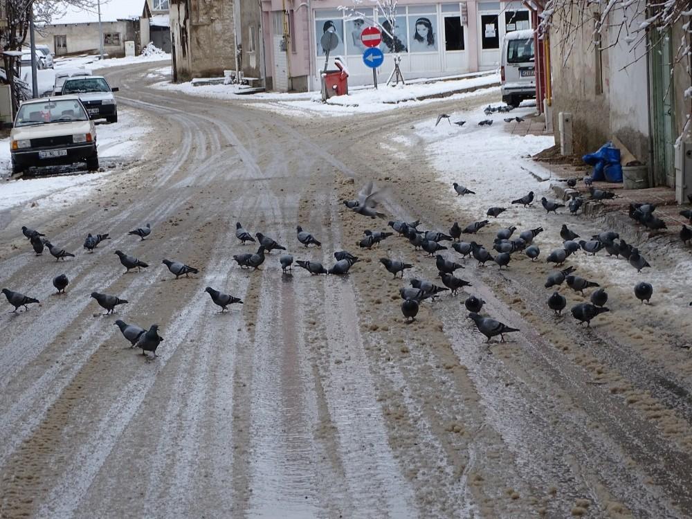 Güvercinlerin karda yiyecek bulma telaşı