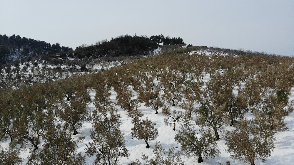 Özel Zeytinleri ağaçları yanan köylüler: Destek olunmazsa aç kalırız