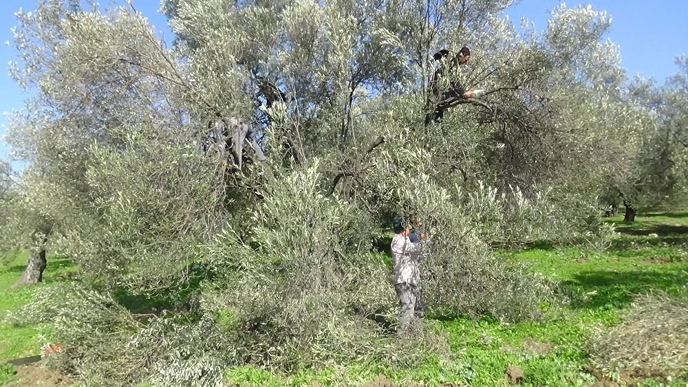Özel Zeytin ağacının soğuk havaya da ihtiyacı var