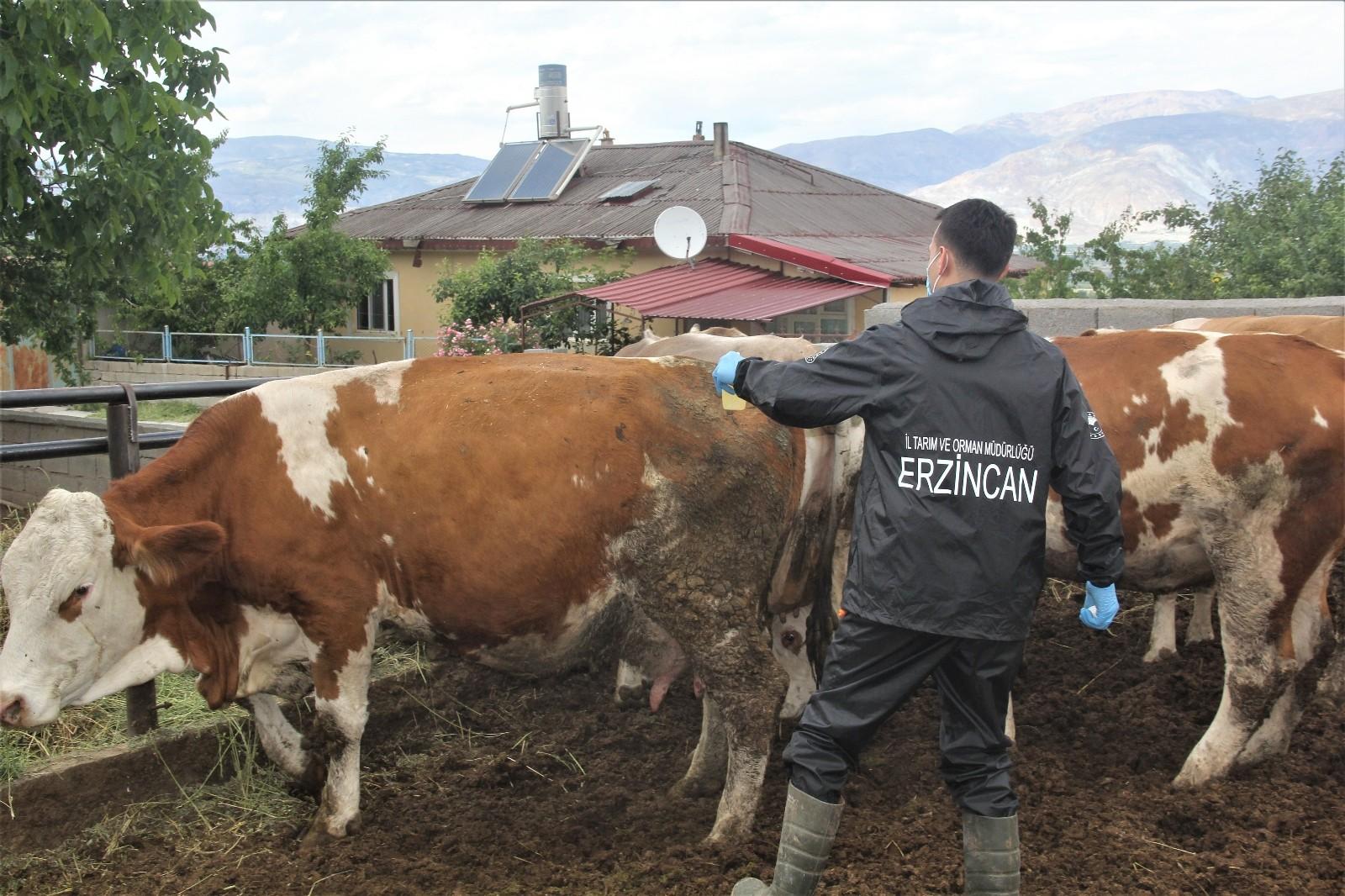 Özel Erzincan'da hayvanlar kenelere karşı ilaçlanıyor