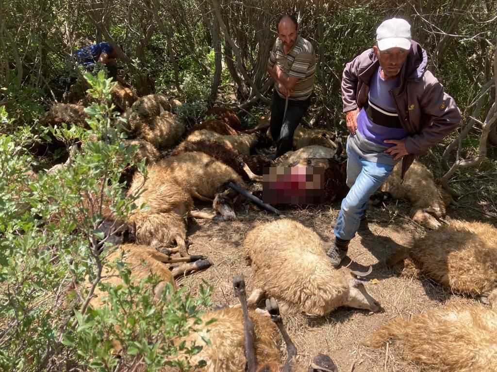 Ayılardan ürküp kaçan sürüdeki 31 koyun ağaçlıklı dere yatağında sıkışarak telef oldu