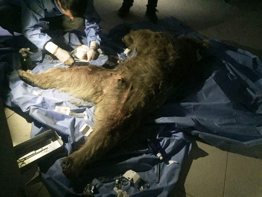 Van'a sevk edilen yaralı boz ayı tedavi altına alındı