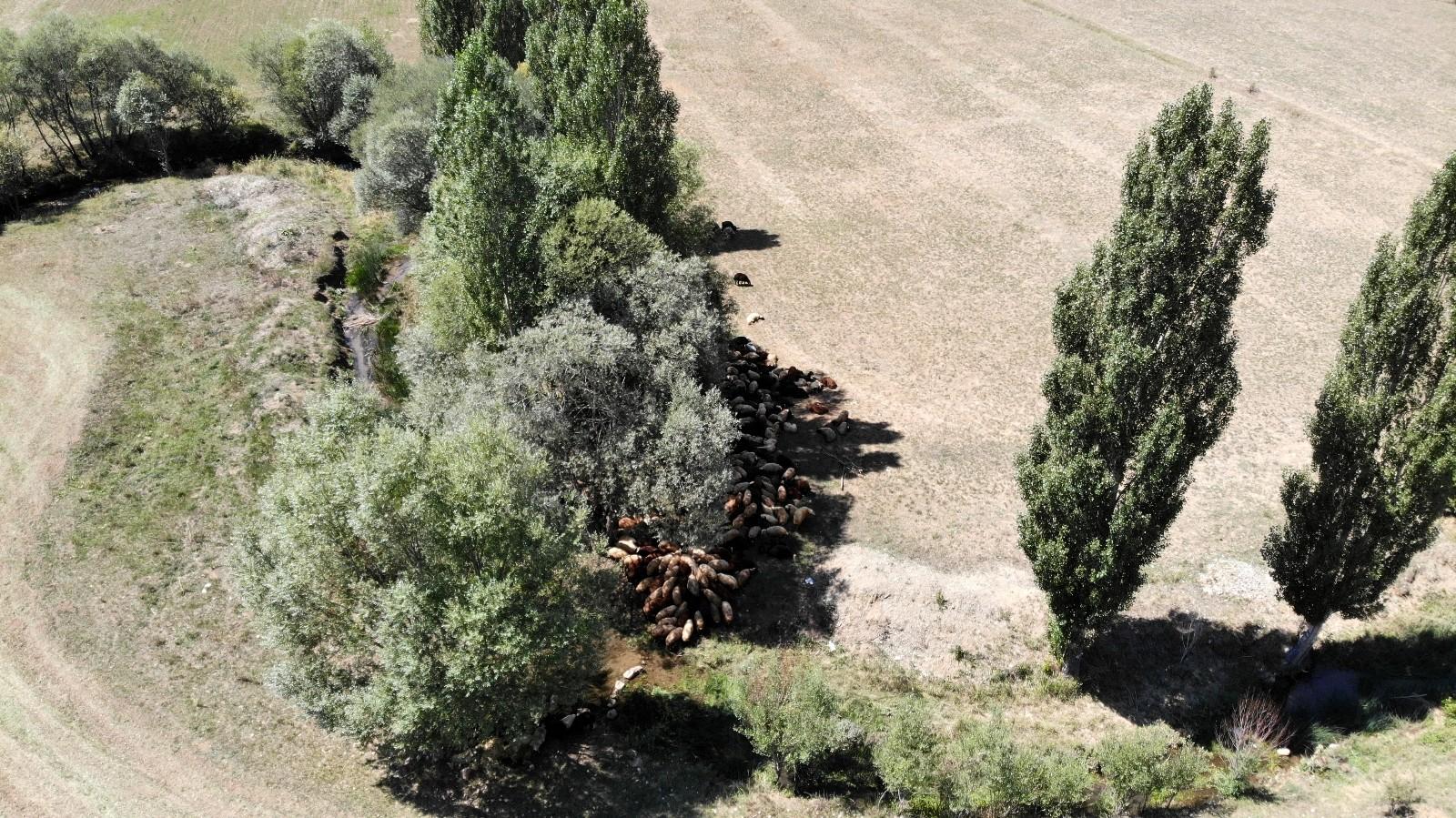 (Özel) Besiciler sıcaktan etkilenen büyükbaş hayvanlarını derede, küçükbaş hayvanlarını da ağaç diplerinde serinletiyor