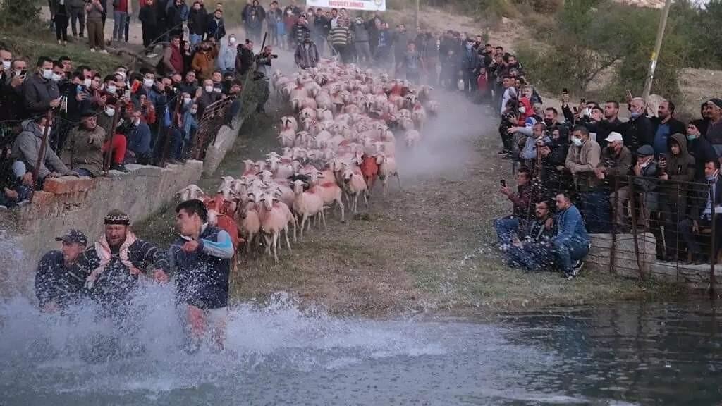 750 yıllık gelenek yaşatıldı, çobanlar göletten geçirdikleri sürüleri zapt etmekte zorlandı #burdur