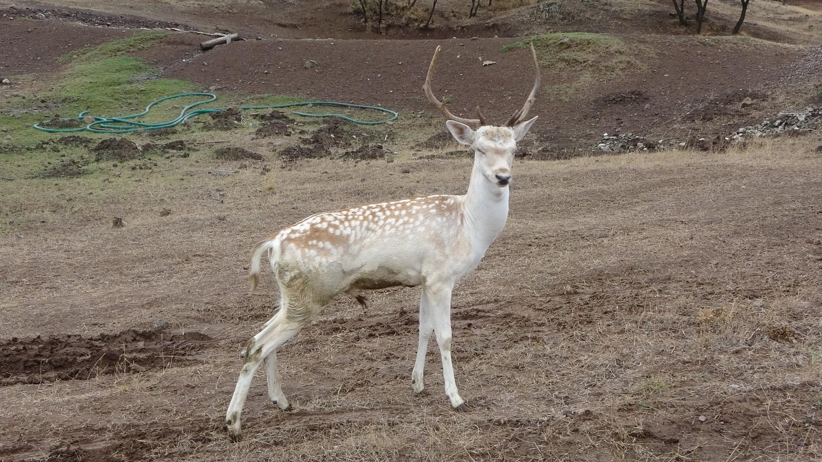Sıklık Tabiat Parkına ala geyik salındı #corum