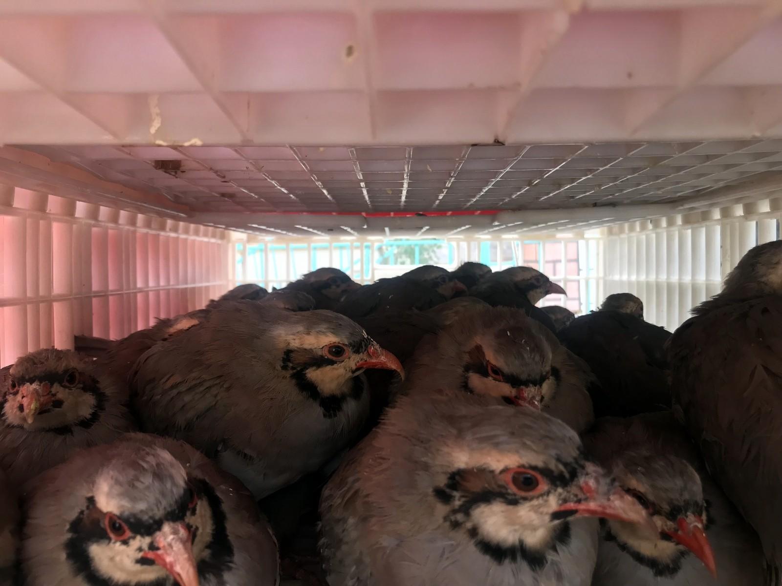 2 bin 675 adet Kınalı Keklik doğaya salındı #bayburt