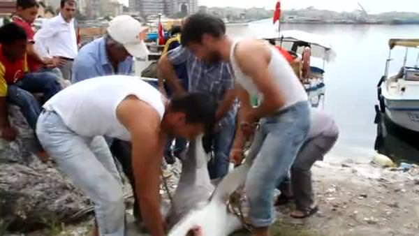 Balıkçıların oltasına köpekbalığı takıldı