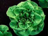 Marul Lactuca sativa nelere iyi gelir? Marulun Lactuca sativa faydaları nelerdir?