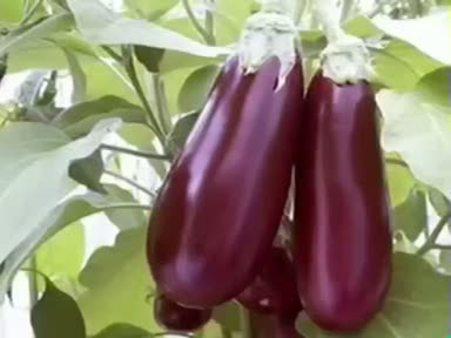 Patlıcan (Solanum melongena) nelere iyi gelir? Patlıcanın (Solanum melongena) faydaları nelerdir?