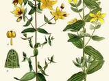 Sarı kantaron Hypericum perforatum nelere iyi gelir? Sarı kantaronun Hypericum perforatum faydaları nelerdir?