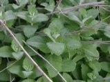 Nane yaprağı (Mentha longifolia) nelere iyi gelir? Nane yaprağının (Mentha longifolia) faydaları nelerdir?