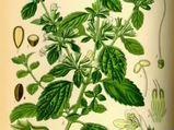 Melisa yaprağı (Melissa officinalis) nelere iyi gelir? Melisa yaprağının (Melissa officinalis) faydaları nelerdir?