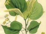 Ihlamur Tilia tomentosa nelere iyi gelir? Ihlamurun Tilia tomentosa faydaları nelerdir?