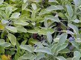 Ada çayı Salvia nelere iyi gelir? Ada çayının Salvia yararları nelerdir?