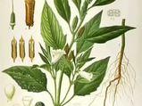 Susam (Sesamum indicum) nelere iyi gelir? Susamın (Sesamum indicum) faydaları nelerdir?