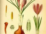 Safran Crocus sativus nelere iyi gelir? Safranın Crocus sativus faydaları nelerdir?
