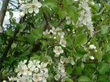 Mahlep Prunus mahaleb nelere iyi gelir? Mahlebin Prunus mahaleb faydaları nelerdir?