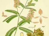 Meyan (Glycyrrhiza glabra) nelere iyi gelir? Meyanın (Glycyrrhiza glabra) faydaları nelerdir?