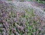 Kekik (Lamiaceae) nelere iyi gelir? Kekiğin (Lamiaceae) faydaları nelerdir?