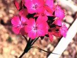Karanfil (Syzygium aromaticum) nelere iyi gelir? Karanfilin (Syzygium aromaticum) faydaları nelerdir?