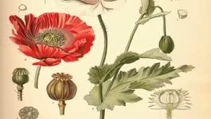 Haşhaş (Papaver somniferum) nelere iyi gelir? Haşhaşın (Papaver somniferum) faydaları nelerdir?