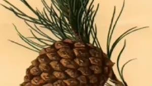 Çam fıstığı (Pinus pinea) nelere iyi gelir? Çam fıstığının (Pinus pinea) faydaları nelerdir?
