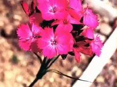 Karanfil Syzygium aromaticum nelere iyi gelir? Karanfilin Syzygium aromaticum faydaları nelerdir?
