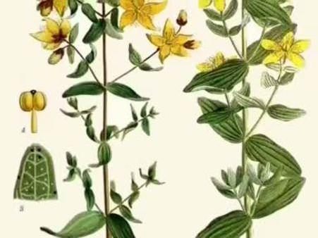 Sarı kantaron (Hypericum perforatum) nelere iyi gelir? Sarı kantaronun (Hypericum perforatum) faydaları nelerdir?