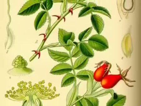 Kuşburnu (Rosa canina) nelere iyi gelir? Kuşburnunun (Rosa canina) faydaları nelerdir?
