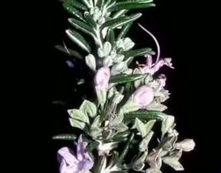 Biberiye (Rosmarinus officinalis) nelere iyi gelir? Biberiyenin (Rosmarinus officinalis) faydaları nelerdir?