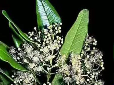 Yenibahar (Pimenta racemosa) nelere iyi gelir? Yenibaharın (Pimenta racemosa) faydaları nelerdir?