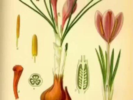 Safran (Crocus sativus) nelere iyi gelir? Safranın (Crocus sativus) faydaları nelerdir?