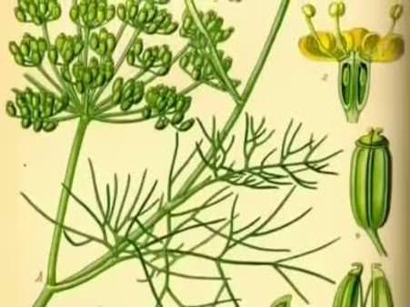 Rezene (Foeniculum vulgare) nelere iyi gelir? Rezenenin (Foeniculum vulgare) faydaları nelerdir?