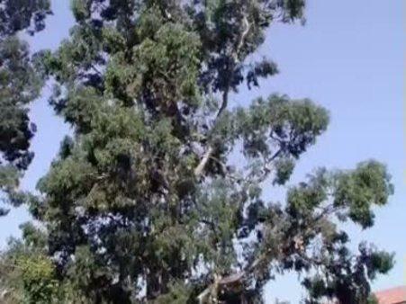 Okaliptus (Eucalyptus) nelere iyi gelir? Okaliptusun (Eucalyptus) faydaları nelerdir?