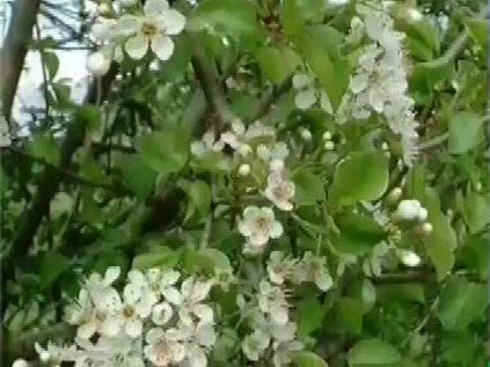 Mahlep (Prunus mahaleb) nelere iyi gelir? Mahlebin (Prunus mahaleb) faydaları nelerdir?