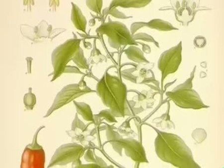 Kırmızı biber Biber (Capsicum) nelere iyi gelir? Kırmızı biberin  (Capsicum) yararları nelerdir?