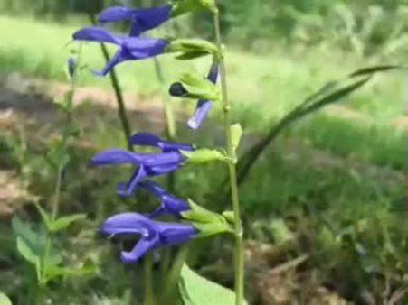 Anason (Pimpinella anisum) nelere iyi gelir? Anasonun (Pimpinella anisum) faydaları nelerdir?