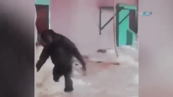 Bale yapan goril izlenme rekorları kırıyor!