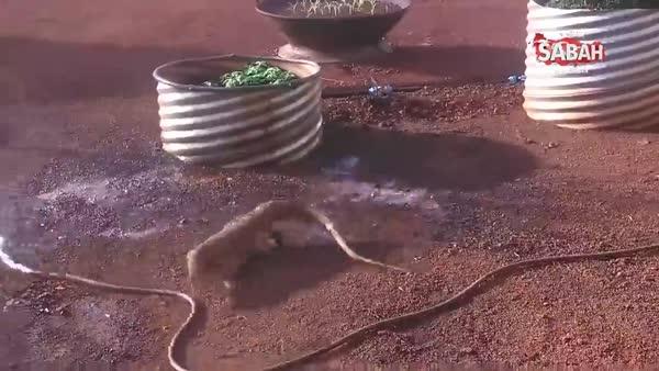 Su hortumunu yılan sanan kertenkele saldırıya geçiyor!