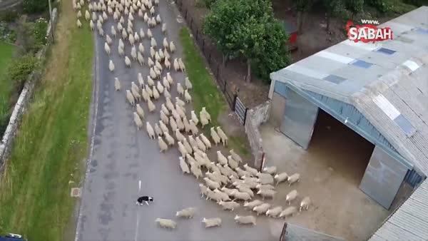 Koyun sürüsünü güden çoban köpeklerinin izleyenleri haran bırakan videosu!